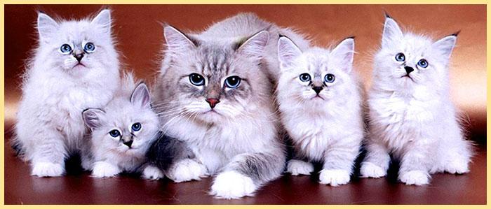 Кошка и тотята невские маскарадные