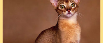 Кот абиссинский