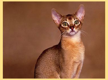 Абиссинские кошки описание породы