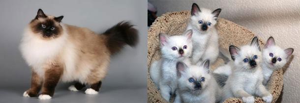 Бирманские кошка и котята