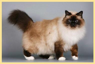 Кошка бирманская
