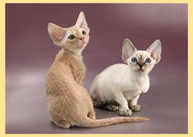Кошки девон рекс в подробном обзоре породы