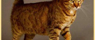 Кот пиксибоб