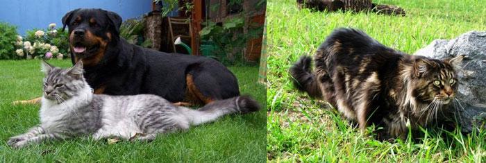 Мейн кун и собака гуляют