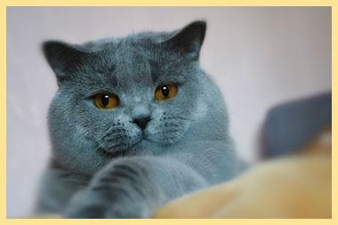 Кот скоттиш страйт