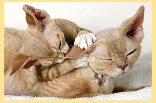 Кошки Девон рекс играют