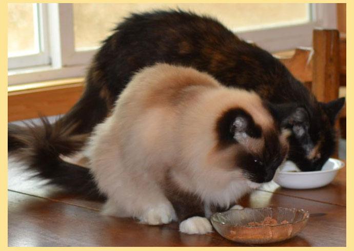 Кошки рэгдолл кушают
