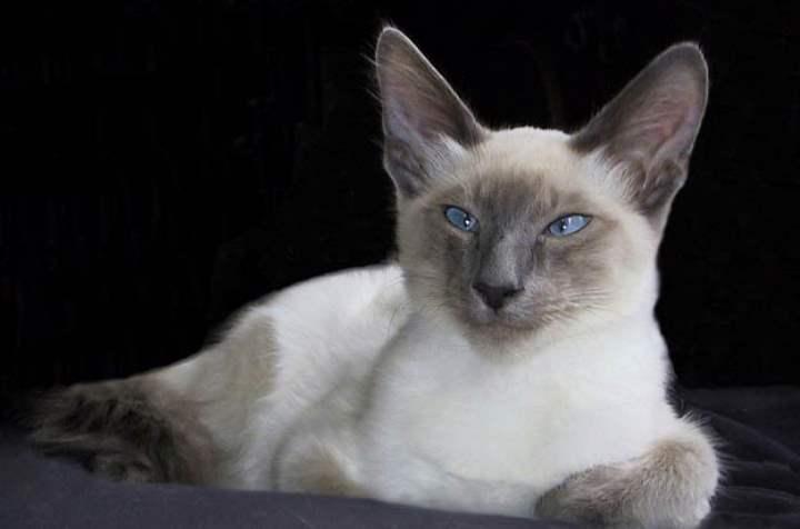 Белая кошка породы - Балийская кошка