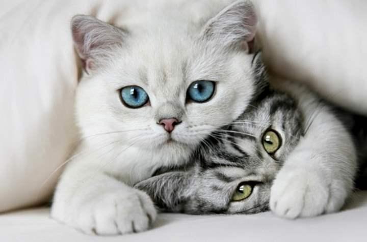 Белая кошка породы - Британская короткошерстная
