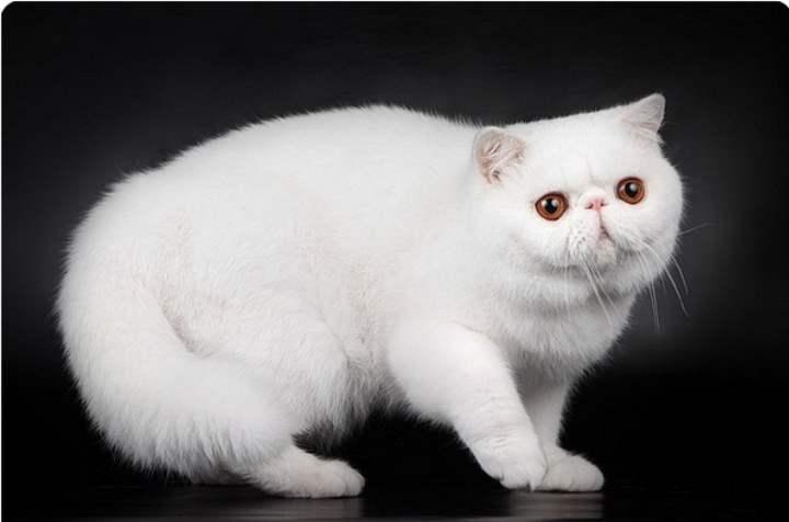 Белая кошка породы - Экзот
