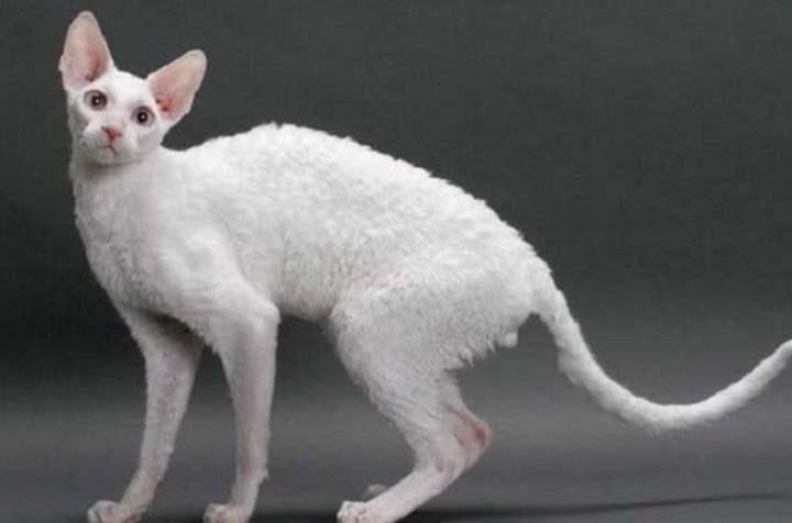 Белая кошка породы - Корниш-рекс