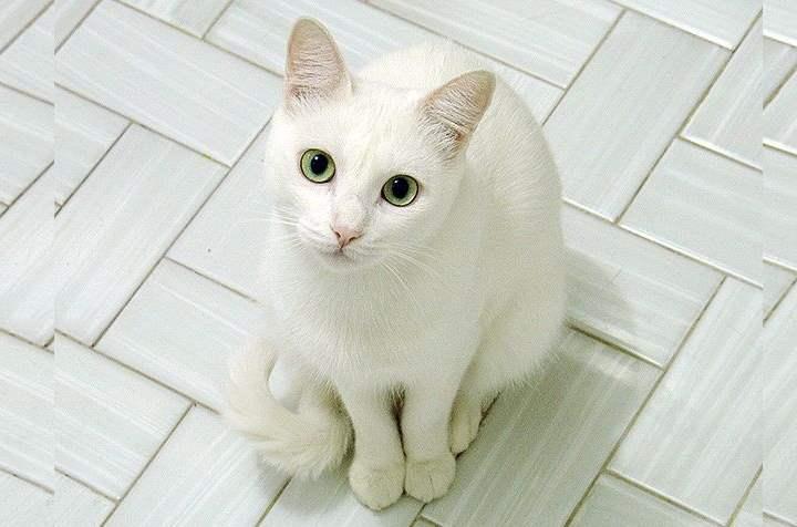 Белая кошка породы - Русская