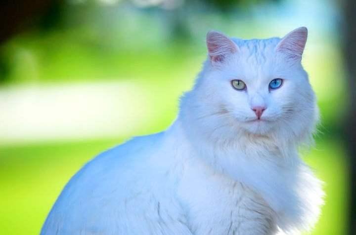 Белая кошка породы - Турецкая ангора