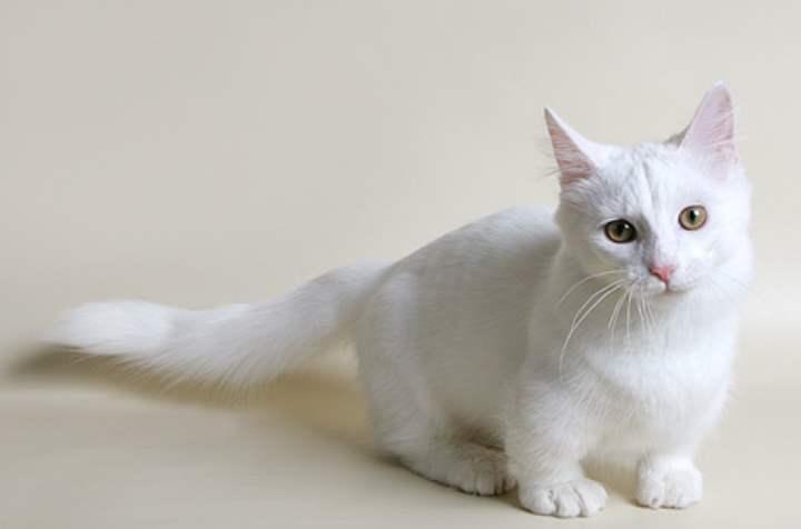 Обзор внешности и характера ангорской породы кошек