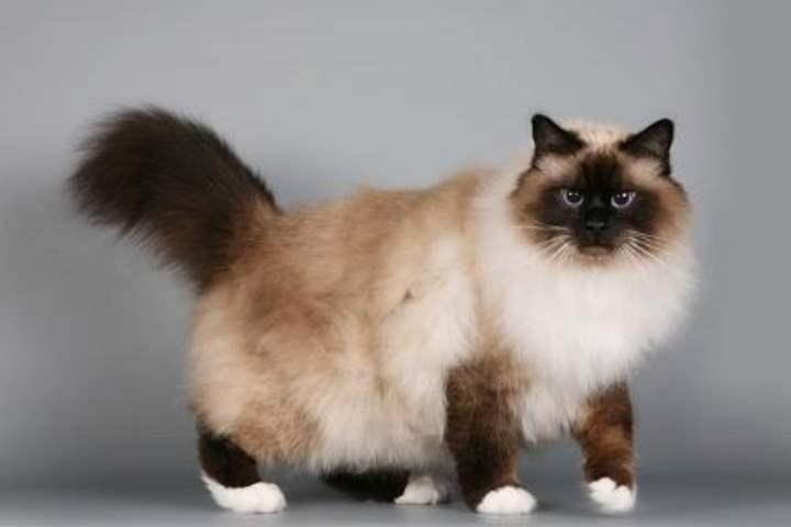 Кошка сиамской разновидности - Бирманская