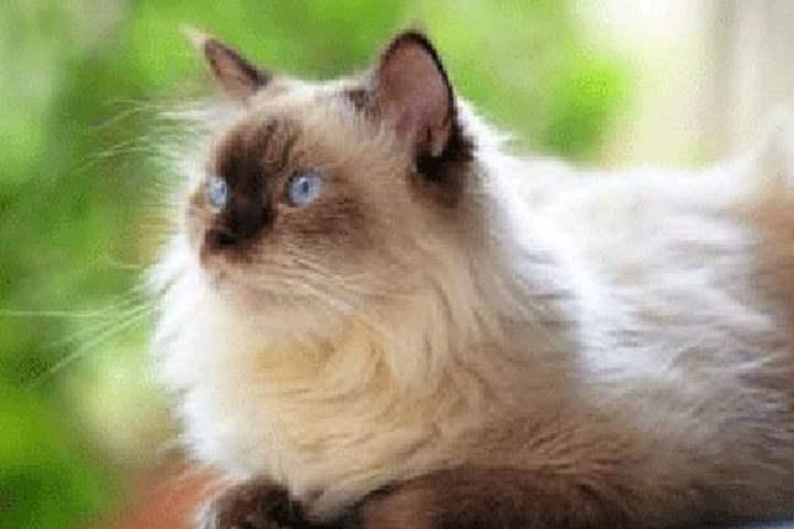 Кошка сиамской разновидности - Гималайская