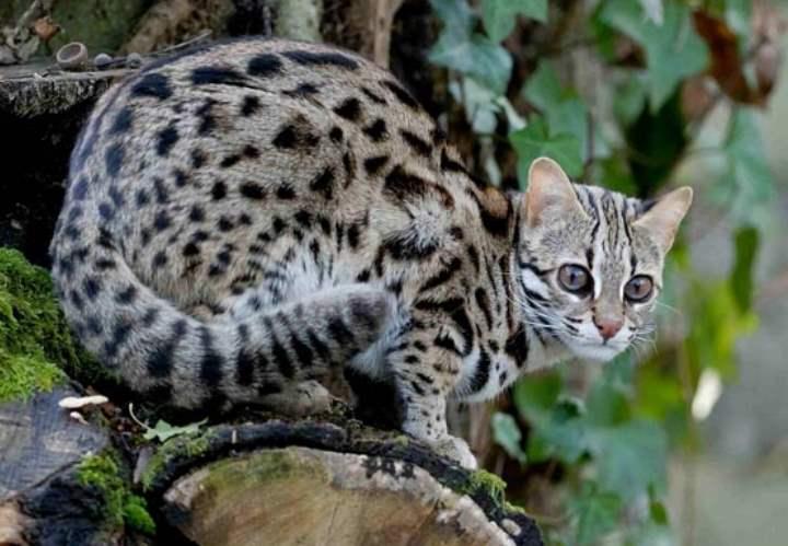 Азиатский кот