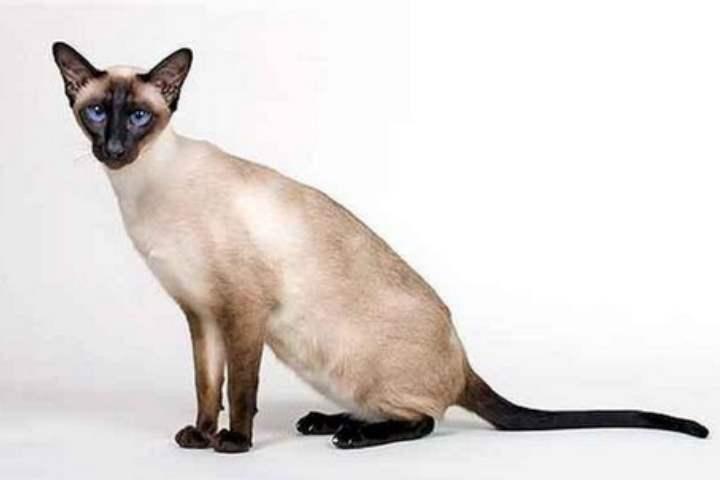 Кошка сиамской разновидности - Ориентальная