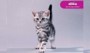 Котенок из Вискаса
