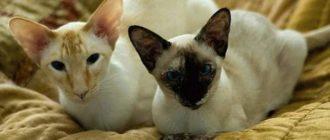 Две кошки сиамской разновидности