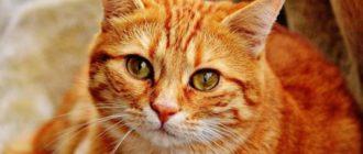 Рыжие кошки в доме