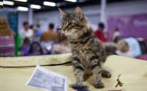 Полосатый кот на выставке