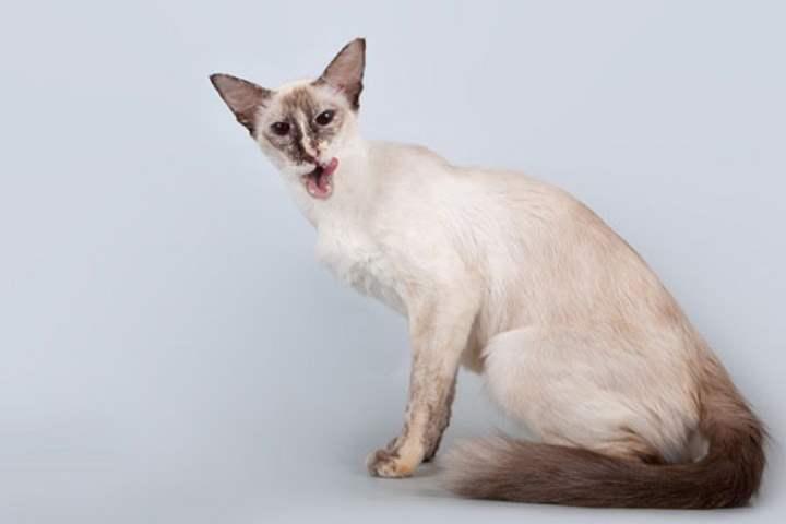 Кошка сиамской разновидности - Яванез