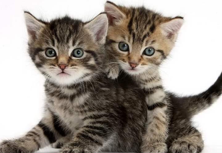 Два полосатых кота