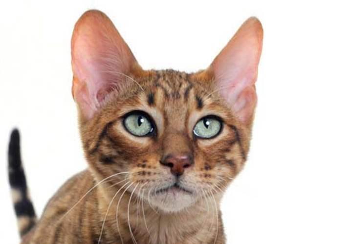 Ушастая кошка