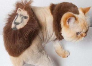 Кот со стрижкой льва на попе