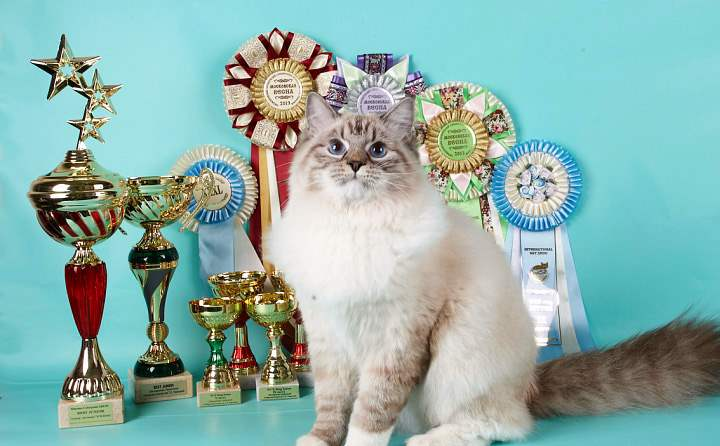 Полинезийский кот на выставке