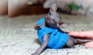 Кошка в синем свитере