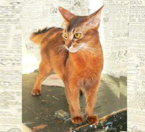 Внешность кошки породы Сомали