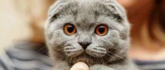 Как выглядит вислоухий кот