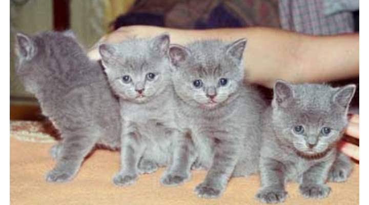 Обычно в 2 месяца происходит отлучение котенка от матери и переход к новым хозяевам