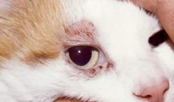 Кожные заболевания и болячки с запахом у кошек и котов