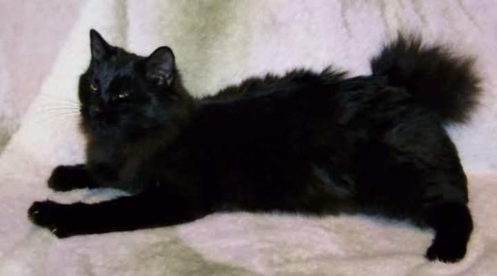 Кошки этой породы довольно крупные, их вес может достигать 7 кг.