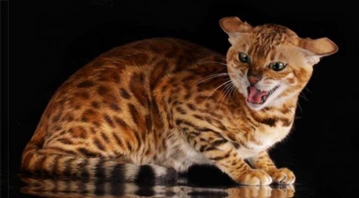 Злая кошка породы Бенгальские