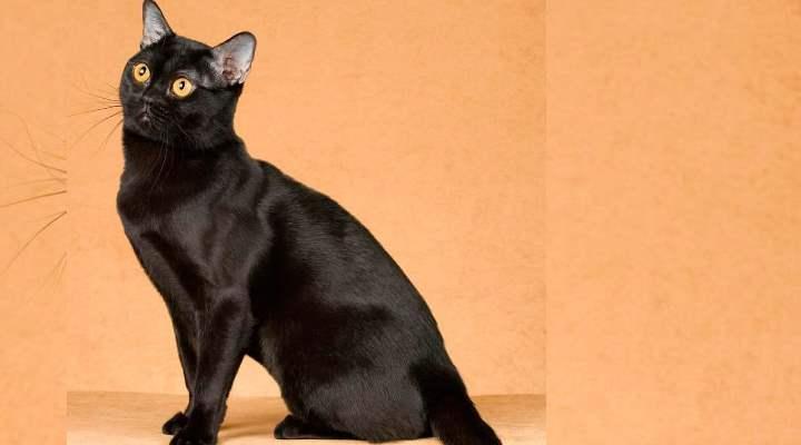 Все котята, которые имеют другой цвет или вкрапления на черном считаются браком.