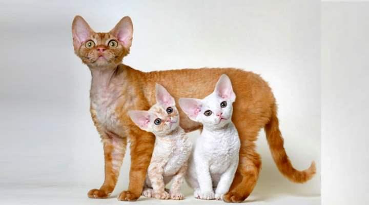 Маленькие короткошёрстные котики с большими острыми ушами и пронзительным взглядом