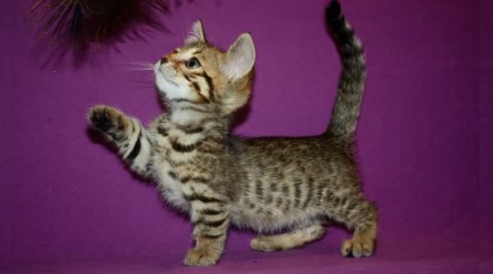 Скрещивание бенгальских кошек с манчкинами и саваннами привело к появлению карликовых котят