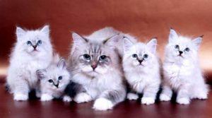 Русские породы кошек считаются одними из самых ласковых и преданных питомцев