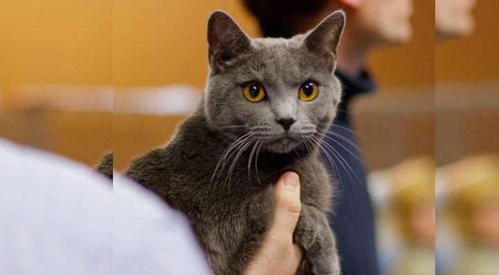 Злая кошка породы Катезианская