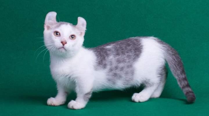 Кошка мелкой породы с очаровательными загнутыми ушками кёрла