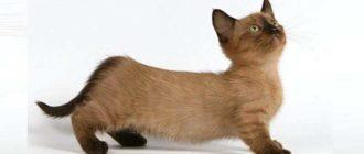 необычная порода, лапы животного в два раза короче таковых у обычной кошки