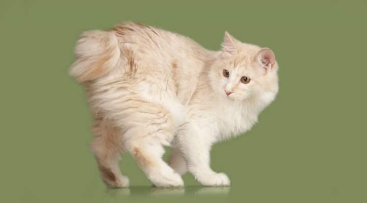 Пушистые кошки, похожие на рысей