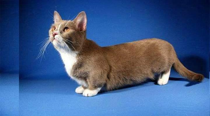 Карликовые кошки манчкин