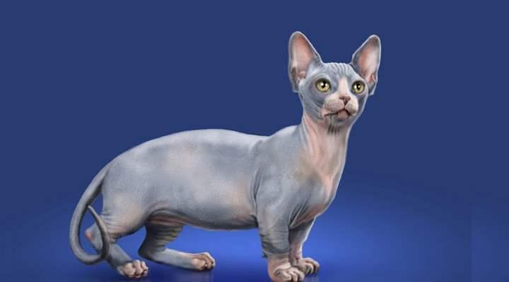 Карликовые лысые кошки, полученные в результате скрещивания манчкинов с канадским сфинксом
