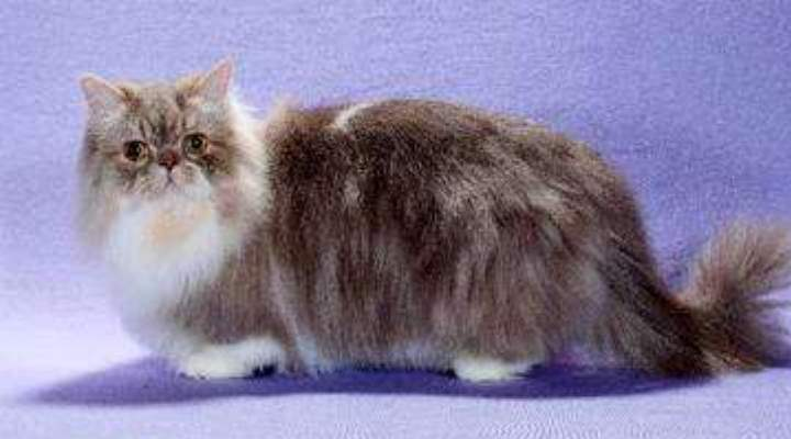 Результат скрещивания манчкинов с персидскими котами