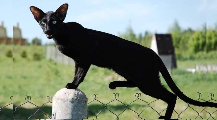 Скрестив сиамскую породу с короткошерстными кошками получили еще одну удивительную разновидность кошачьих